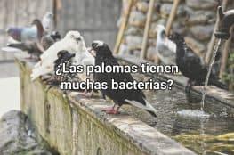 ¿Las palomas tienen muchas bacterias?